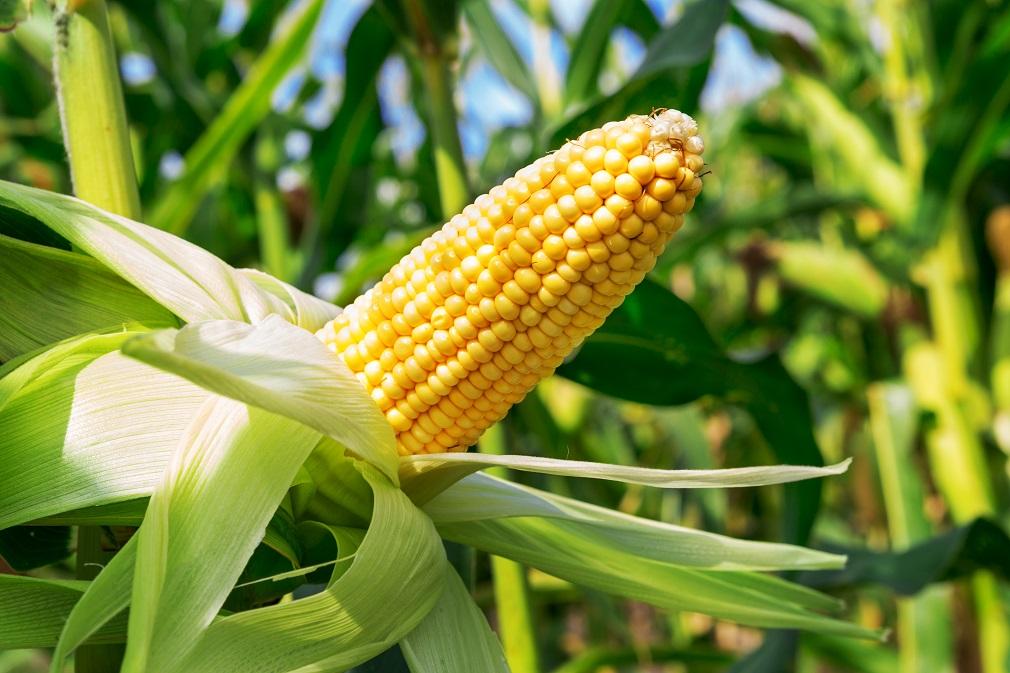Aktívne uhlie zo zvyškov z kukurice? Metóda čistenia vody podporuje obehovú ekonomiku