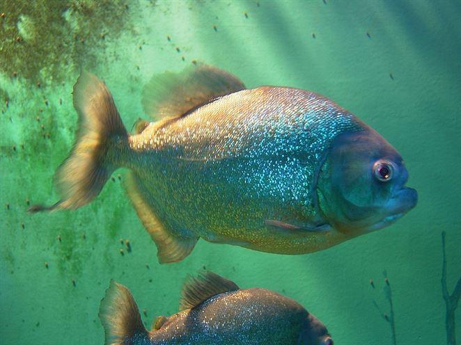 80% rýb v Amazonke má v žalúdku mikroplasty