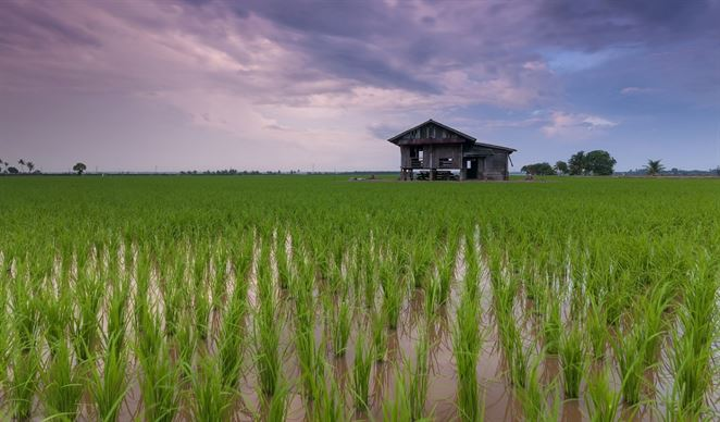 Zbaviť vodu pesticídov dokáže aj ryža
