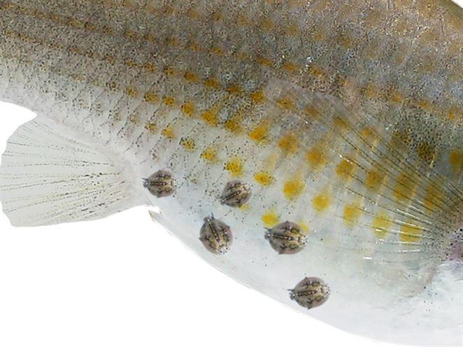 Aj parazity môžu byť užitočné: Tie rybie dokážu včas upozorniť na ťažké kovy vo vode