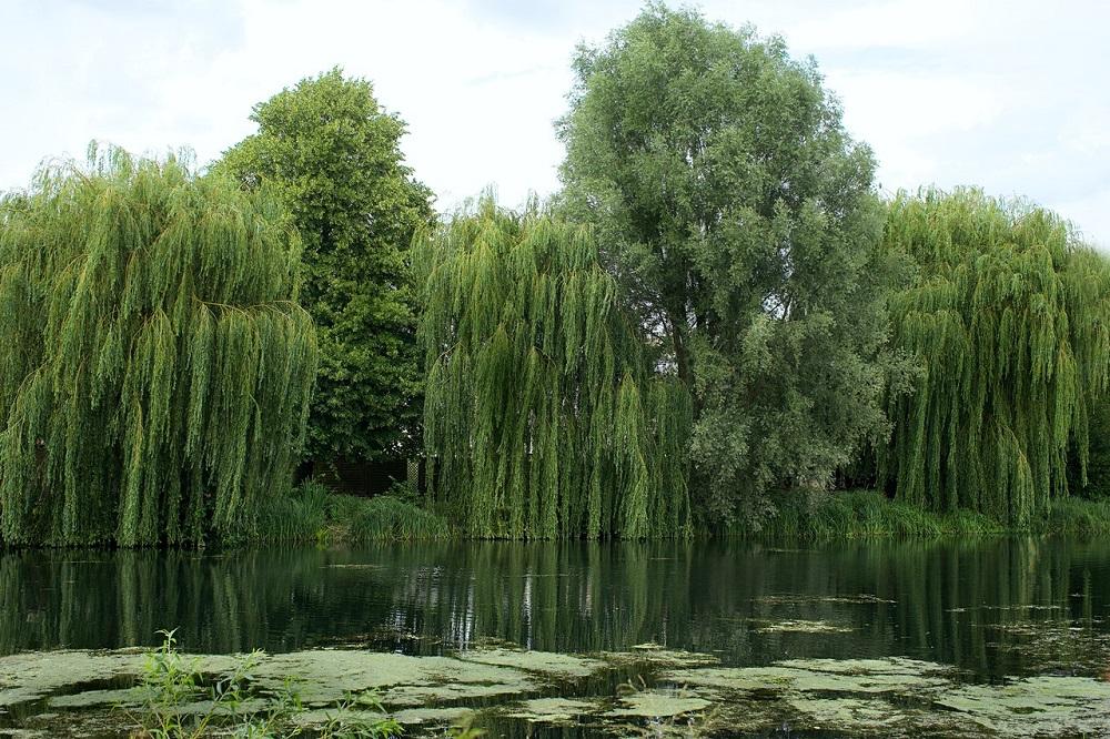 V Kanade testujú čistenie odpadových vôd koreňovým systémom vŕb